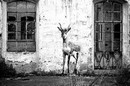 Sonac, Antilope àl'usine Brusson, 2018, Photo print black and white on paper, cm 100 x 100 cm, edizione 5, courtesy Mazel Galerie