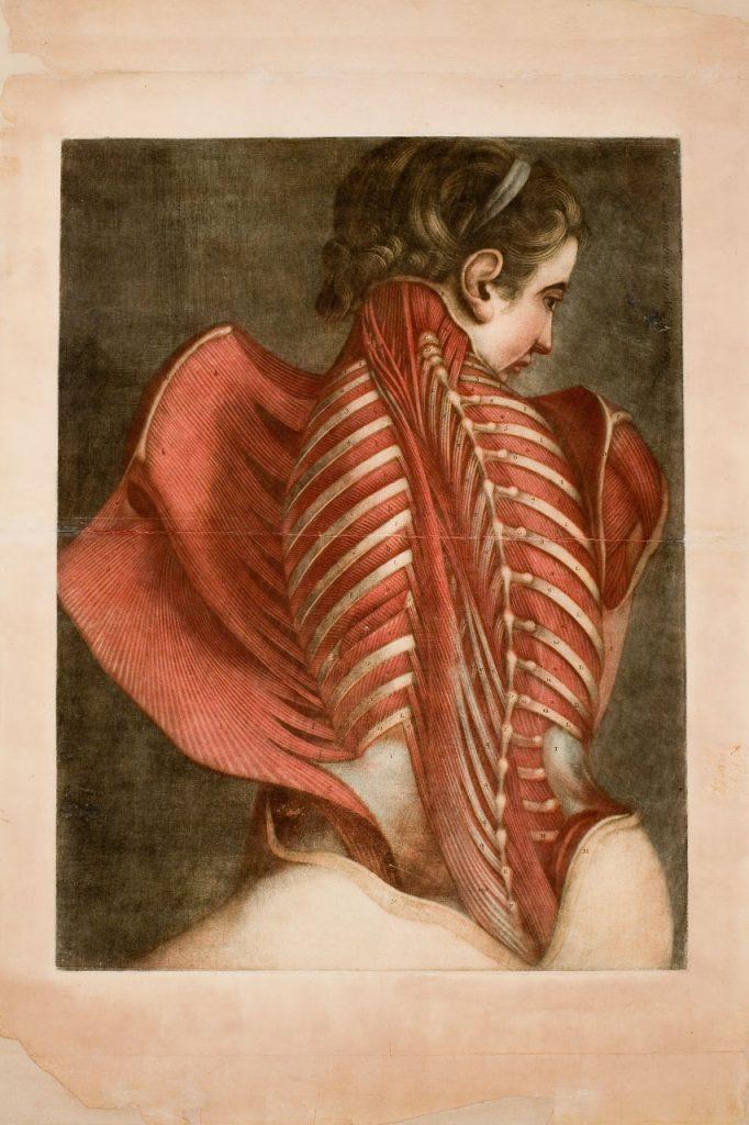 Femme vue de dos, disséquée de la nuque au sacrum, dite l'Ange anatomique.