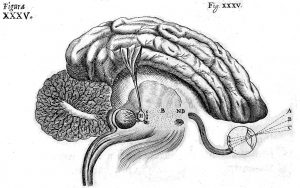 Cartesio, De Homine, The Nervous System. Diagram of the brain, 1662