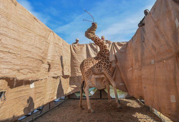 Natura, 1° premio Rescue of Giraffes from Flooding Island © Ami Vitale, Stati Uniti, per CNN Una giraffa di Rothschild (Giraffa camelopardalis rothschildi) viene trasportata, su una chiatta costruita su misura, dall'isola allagata di Longicharo, sul lago Baringo, nel Kenya occidentale, il 3 dicembre.