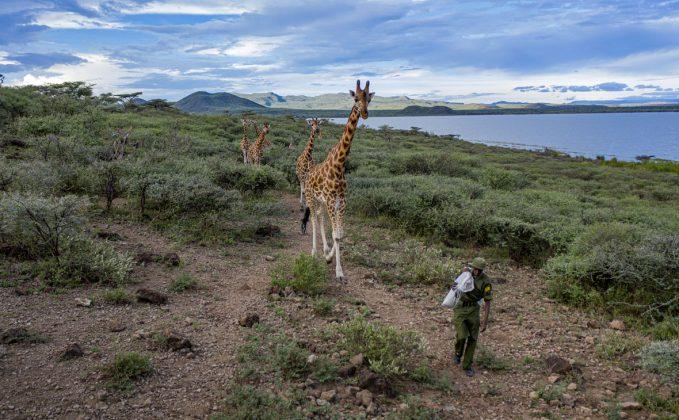 © Ami Vitale_FFE21 Mike Parkei, ranger della Ruko Conservancy, si prende cura delle otto giraffe arenate su un'isola del Kenya